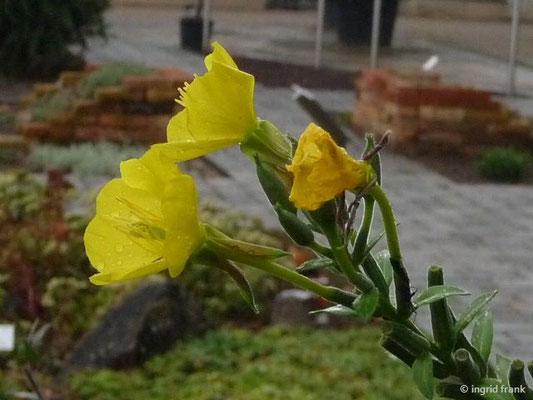 Oenothera biennis aggr. / Zweijährige Nachtkerze (Botanischer Garten Universität Heidelberg)
