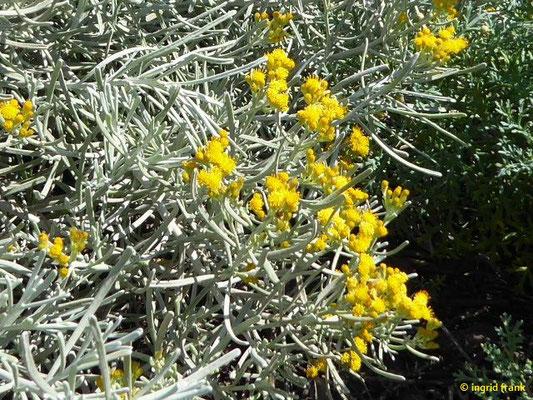 Schizogyne sericea - Seidenhaarige Schizogyne (La Palma)