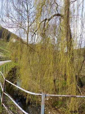 Salix x sepulcralis - Trauer-Weide