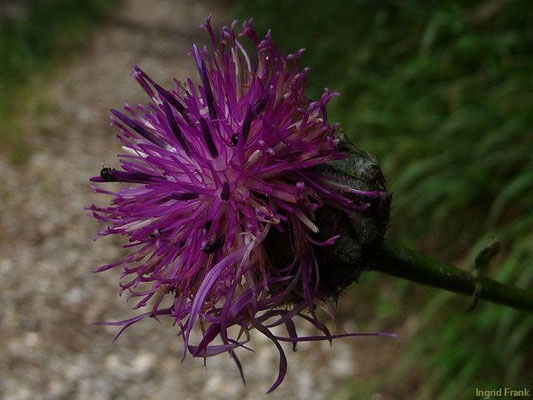 Centaurea nigra Schwarze Flockenblume