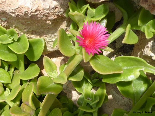 Aptenia cordifolia - Herzblättrige Mittagsblume (Toskana)