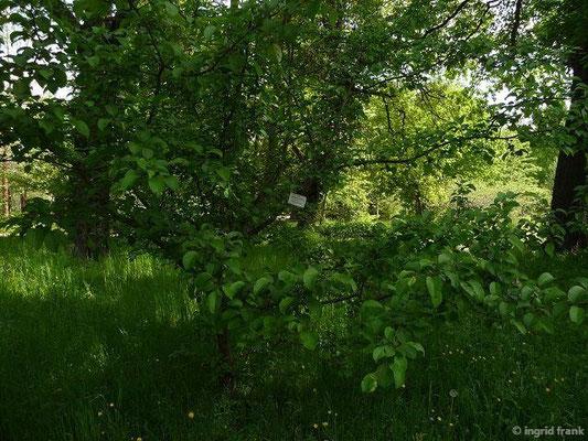 Malus sylvestris - Holz-Apfel