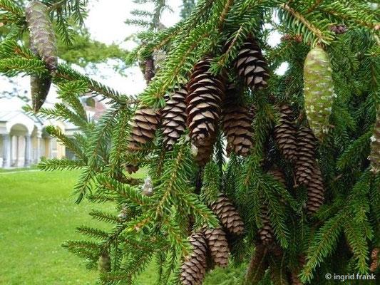Picea abies - Gewöhnliche Fichte