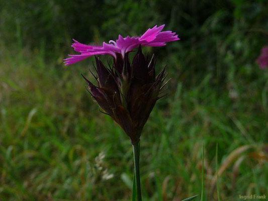 Dianthus carthusianorum / Gewöhnliche Kartäuser-Nelke