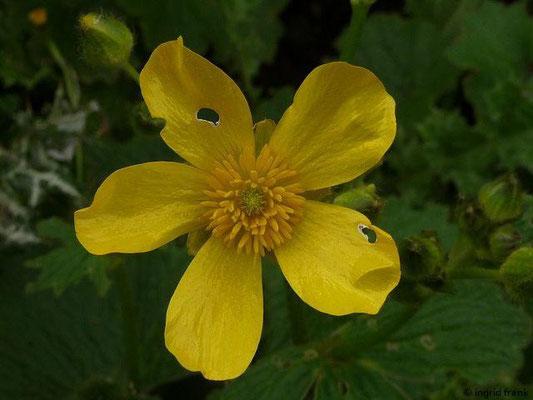 Ranunculus cortusifolius - Kanaren-Hanenfuss