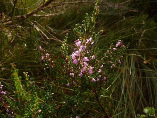 Calluna vulgaris / Heidekraut, Besenheide