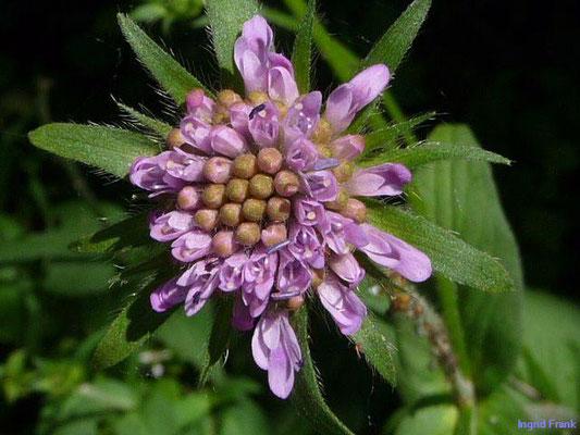 Knautia dipsacifolia ssp. dipsacifolia / Gewöhnliche Wald-Witwenblume