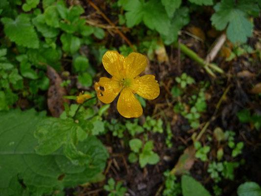 Ranunculus montanus / Berg-Hahnenfuß
