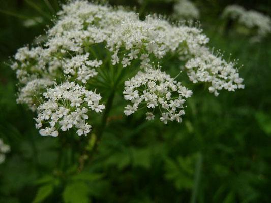 Chaerophyllum hirsutum - Behaarter Kälberkropf