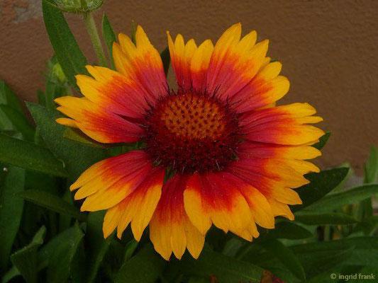 Gaillardia - Kokardenblume