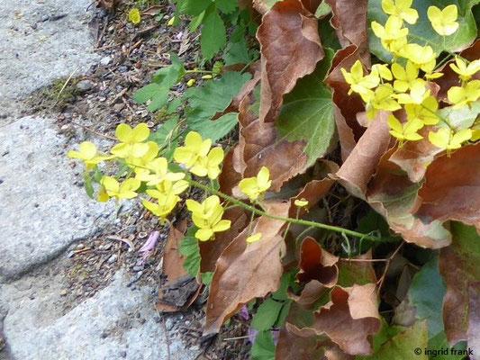 Elfenblume 'Frohnleiten' (Danke für den Hinweis, Sabine Konrad)