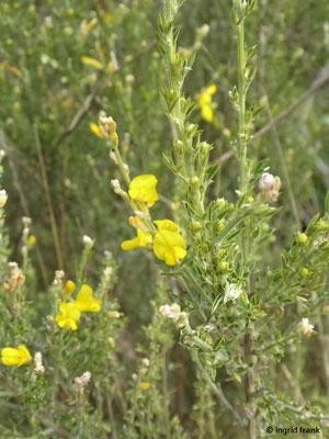 Teline microphylla - Kleinblättrige Teline