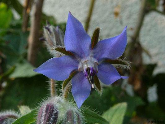 Echter Boretsch / Borago officinalis