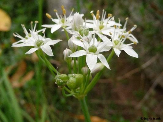 Allium tuberosum / Schnittknoblauch, Chinesischer Schnittlauch    VIII-IX