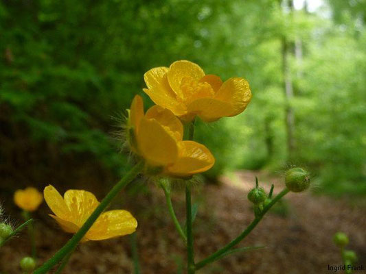 29.04.2011-Ranunculus lanuginosus - Wolliger Hahnenfuß (bei Kickach)