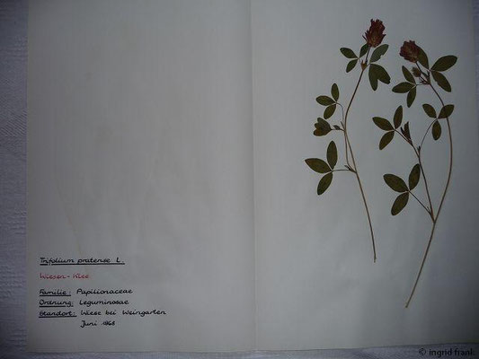 (36) Trifolium pratense - Wiesen-Klee