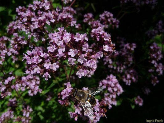 Origanum vulgare - Gewöhnlicher Dost