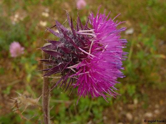 Carduus nutans - Nickende Distel    VII-IX