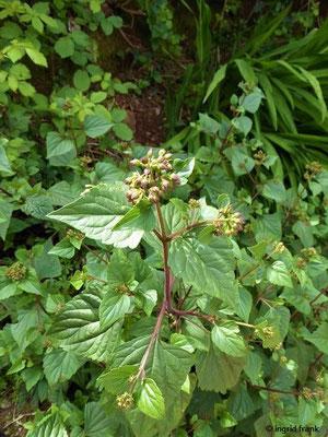 Ageratina adenophora - Drüsiger Wasserdost