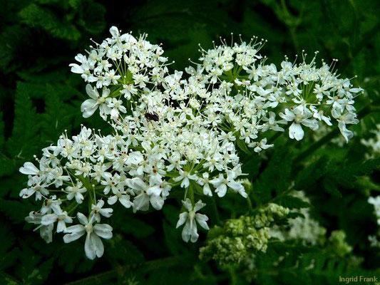 Myrrhis odorata / Süßdolde