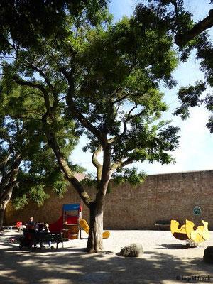 Sophora japonnica - Japanischer Schnurbaum
