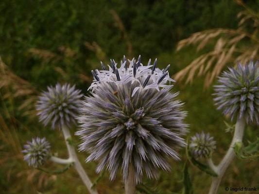 Kugeldistel - Echinops