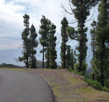 Pinus canariensis - Kanaren-Kiefer