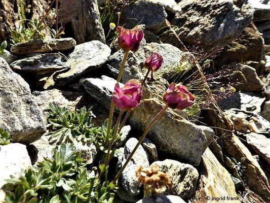 Ranunculus glacialis / Gletscher-Hahnenfuß