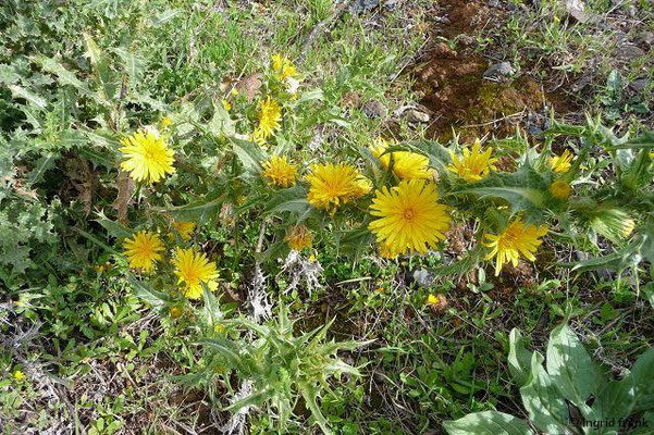 Scolymus hispanicus - Spanische Golddistel