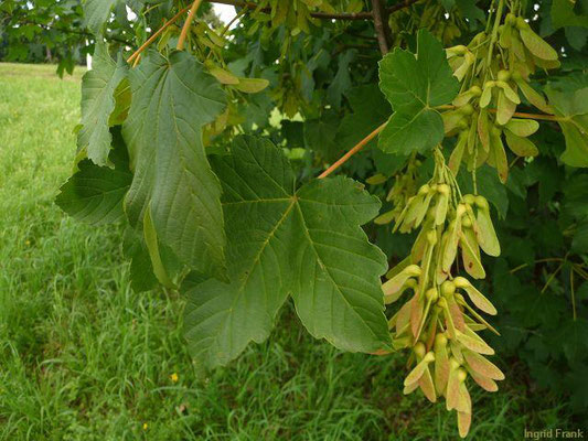 Acer pseudoplatanus / Berg-Ahorn