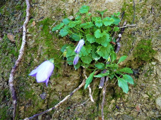 Campanula cochleariifolia - Zwerg-Glockenblume, Niedliche Glockenblume    VI-IX