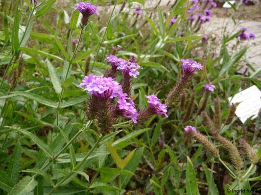 Verbena bonariensis / Argentinisches Eisenkraut     (Botanischer Garten Universität Heidelberg)