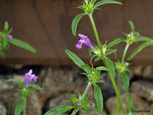 Galeopsis angustifolia - Schmalblättriger Hohlzahn