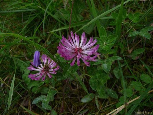 Trifolium medium - Mittlerer Klee, Zickzack-Klee