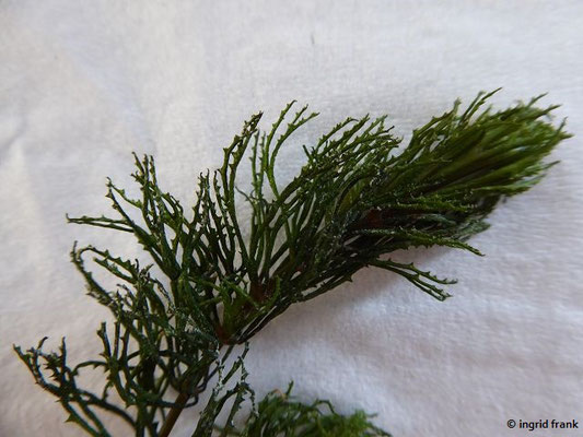 Ceratophyllum demersum - Raues Hornblatt