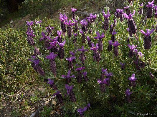 Lavandula stoechas - Schopf-Lavendel    III-VI