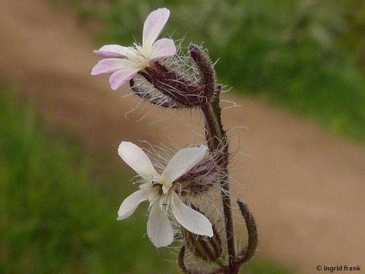 Silene gallica (La Gomera)