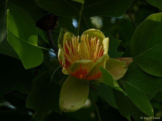 02.06.2015-Liriodendron tulipifera - Garten im Deggenhauser Tal
