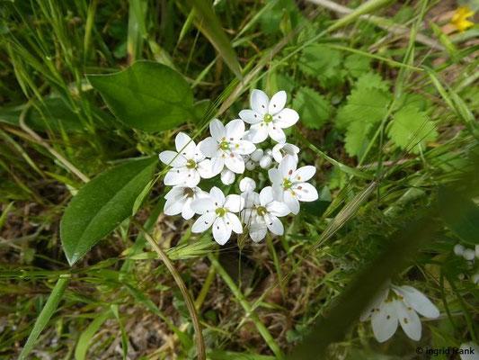 Allium neapolitanum - Neapolitanischer Lauch