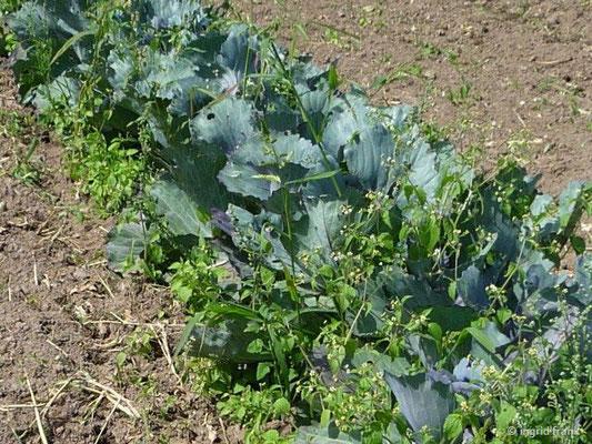 Anbau von Rotkohl auf dem Feld