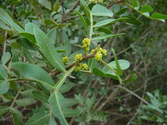 Pistacia lentiscus - Mastixstrauch