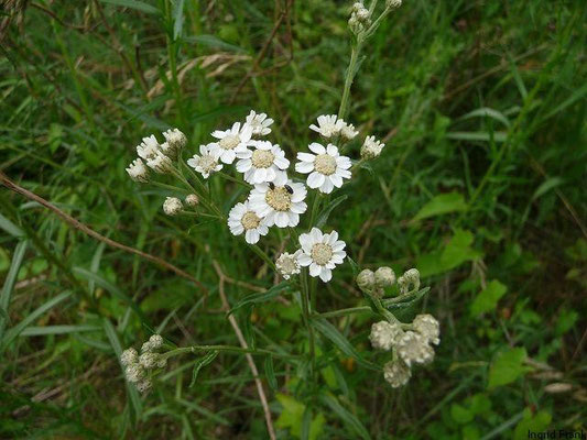 Achillea ptarmica -Sumpf-Schafgarbe