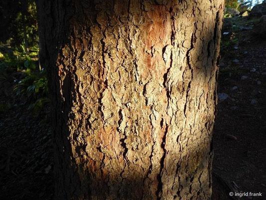 Picea abies / Rottanne. Fichte