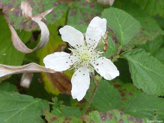 Rubus caesius / Kratzbeere    V-VII(-X)