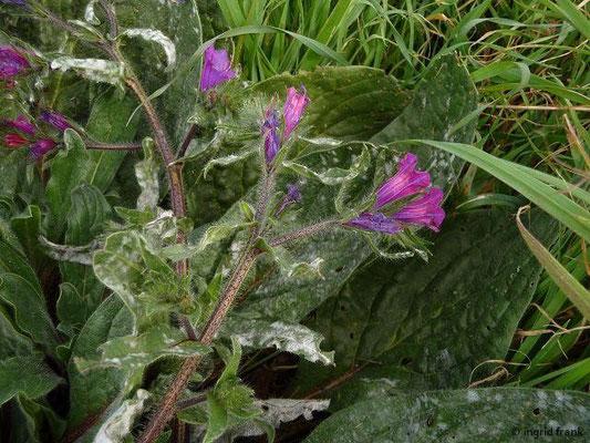 Echium plantagineum - Wegerichblättriger Natterkopf