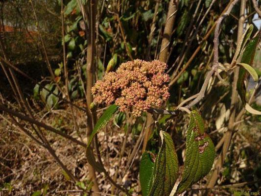 Viburnum rhytydophyllum - Runzelblättriger Schneeball