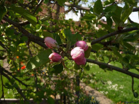 Malus domestica - Apfel