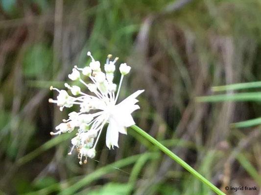Astrantia minor - Kleine Sterndolde    VII-VIII