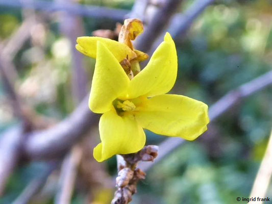 Forsythia x intermedia - Forsythie