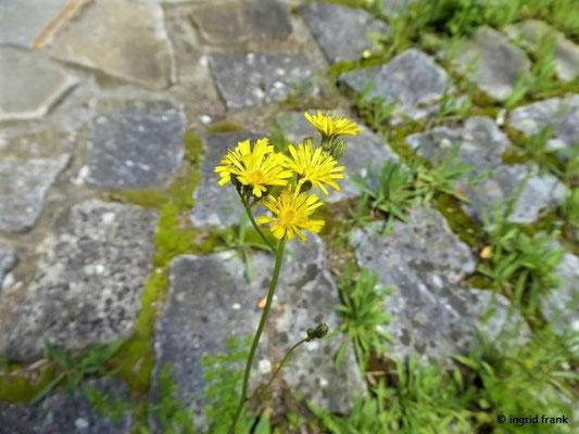 Hieracium piloselloides / Florentiner Mausohrhabichtskraut